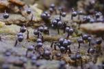 Cribraria cancellata - Przetaczek żebrowiec