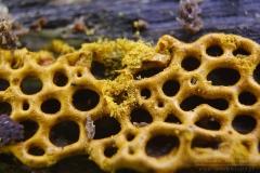 Hemitrichia serpula - Zapletka czołgaczek
