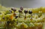 Lamproderma arcyrionema - Błyszczak siatkowaty