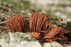 Stemonitis axifera - Paździorek rdzawy
