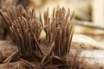 Stemonitis fusca - Paździorek ciemny